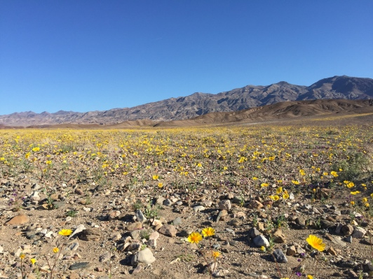 2016 Super-bloom, Death Valley featuring theDesert gold is also called desert sunflower. This annual is usually between one and two feet in height. The leaves are between one half to four inches long and occur alternately along the stem. The flowers are yellow and between one and three inches across.