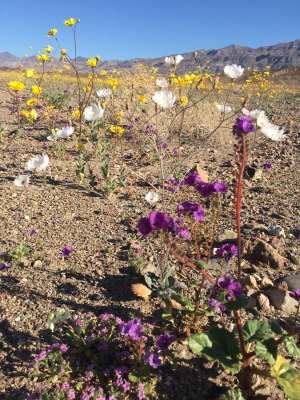 Following 5 years of drought, the desert blossomed